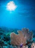 Вентилятор моря на рифе мелассы, ключевом Largo, ключах Флориды Стоковые Изображения