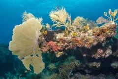 Вентилятор моря Стоковые Изображения