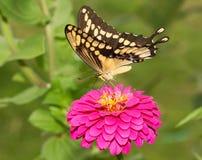 Вентральный взгляд гигантской бабочки Swallowtail Стоковые Фотографии RF