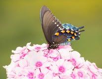 Вентральный взгляд зеленой бабочки Swallowtail Стоковое Изображение