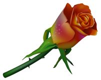 венчание 2 цветов розовое Стоковое Изображение RF