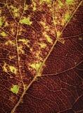 Вены в детали листьев осени Стоковая Фотография