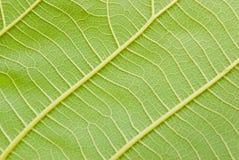 Вены листьев Стоковое фото RF