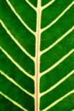 Вены листьев Стоковое Фото