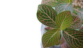 Вены лист макроса красные Стоковые Фотографии RF