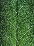 Вены лист Стоковая Фотография RF
