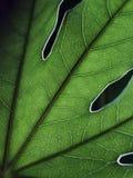 Вены лист Стоковая Фотография