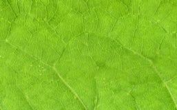 Вены листьев закрывают вверх Стоковое фото RF