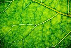 вены листьев Стоковое Изображение RF