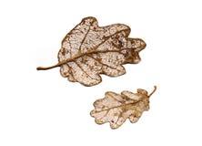 вены листьев Стоковые Изображения RF