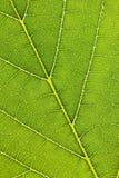 вены листьев Стоковая Фотография