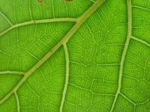 вены листьев Стоковые Фото