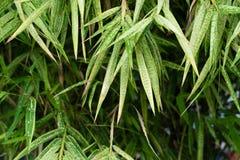 вены макроса листьев предпосылки bamboo весьма Стоковые Изображения