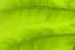 вены макроса листьев Стоковая Фотография