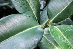 Вены на больших зеленых листьях Стоковые Изображения