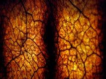 вены раковины Стоковое Изображение