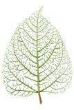 Вены скелета лист Стоковые Изображения RF
