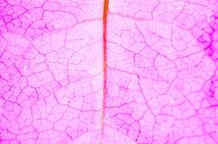 вены цветка розовые Стоковая Фотография RF