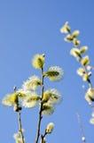 верба весны неба pussy пасхи цветеня предпосылки Стоковое Изображение RF