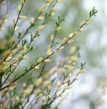 верба весны Стоковые Изображения RF