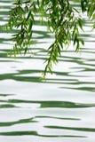 верба ветви Стоковое Изображение