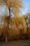 Верба в солнце Стоковое Изображение RF