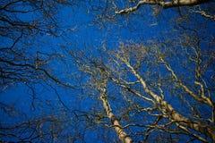Верба дерева против голубого неба Стоковое фото RF