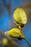 Верба желтых цветков зацветая стоковые изображения