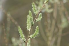 Верба или желтоватые catkins весной Стоковые Фото