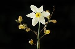 Верба и daffodil Pussy стоковые изображения rf