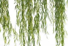 верба листва плача стоковые изображения rf