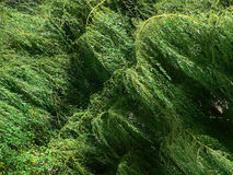 верба листва плача стоковое фото rf