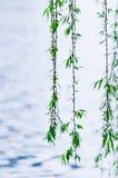 верба листва стоковые изображения