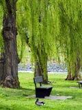 верба парка Стоковая Фотография
