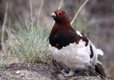 верба положения ptarmigan птицы Аляски Стоковые Фотографии RF