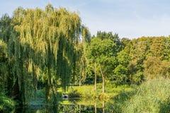 Верба свисая пруд в парке Стоковая Фотография