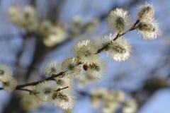 верба цветения Стоковое фото RF