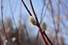 Верба цветеня весны Стоковая Фотография RF