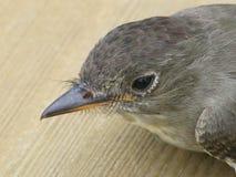 верба flycatcher Стоковая Фотография RF