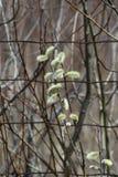Верба Pussy (Salix обесцвечивает) Стоковое Фото