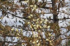 Верба Pussy (Salix обесцвечивает) Стоковая Фотография
