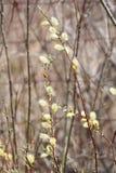 Верба Pussy (Salix обесцвечивает) Стоковые Фото