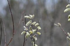 Верба Pussy (Salix обесцвечивает) Стоковые Фотографии RF