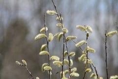 Верба Pussy (Salix обесцвечивает) Стоковое фото RF
