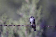 верба traillii flycatcher empidonax Стоковая Фотография