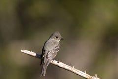верба traillii flycatcher empidonax Стоковое Изображение
