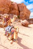 2 верблюда в пустыне, Ram Джордан вадей Стоковая Фотография