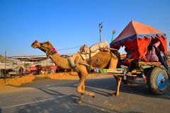 Верблюды волоча экипажа на дороге стоковое изображение rf