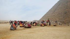 Верблюды в Гизе сток-видео