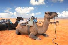 Верблюды в пустыне Сахары, Марокко Стоковые Фото